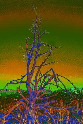 Shenandoah Tree